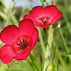Double Red Flax by Barrie Woodward
