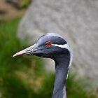 Demoiselle Crane, Red Eyes by JMG1883