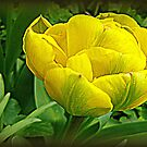 Parrot Tulip by naturelover