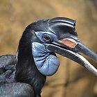 Northern Ground Hornbill by JMG1883