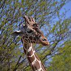 Reticulated giraffe by JMG1883