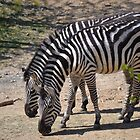 Zebras by JMG1883