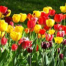Tulips! by Alberto  DeJesus