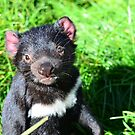 Tasmanian Devil by MisticEye
