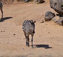 Zebras by JMG1883