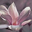Saucer Magnolia by cclaude