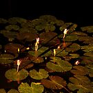 landscapes #235, lily by night by stickelsimages