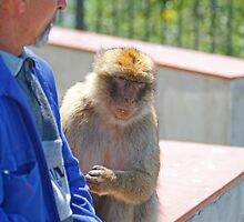 Barbary Macaque sitting beside a man In Gibraltar by Keith Larby