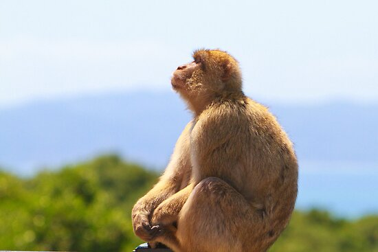 Barbary Macaque plane spotting In Gibraltar by Keith Larby