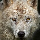 Arctic Wolf by Jim Cumming