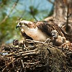 Hungry Osprey Chicks Meal Interrupted by Joe Jennelle