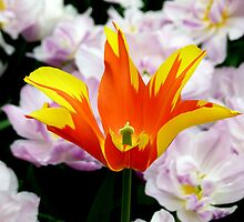 Tulipa - Fire Wings - II by bubblehex08