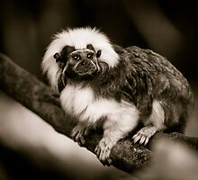 Cotton Top Tamarin by mlphoto