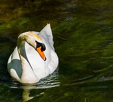 Mute Swan on Sparkling River by mlphoto