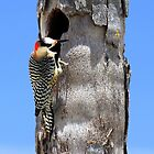 Woody the Woodpecker by vette