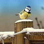 Winter Blue Tit by Lyn Evans