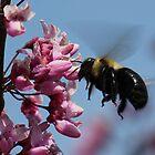 Flying Carpenter Bee  by Sheryl Hopkins