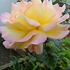 Yellow Rose (pink tips) by Dionne Meade
