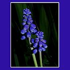 grape hyacinth case by dedmanshootn