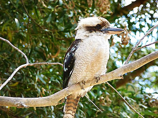 Kookaburra taking in the views - Grampians, Vic. by EdsMum