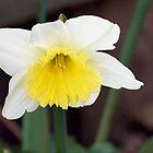 Yellow and White Daff by nastruck