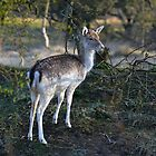 fallow dear by Peter Wiggerman