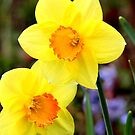 Dainty daffodils by missmoneypenny