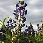 Texas Bluebonnet by Paul Sturdivant