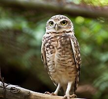 Burrowing Owl I by Ricardo Martins
