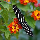 A Zebra Longwing on Lantana  by Saija  Lehtonen