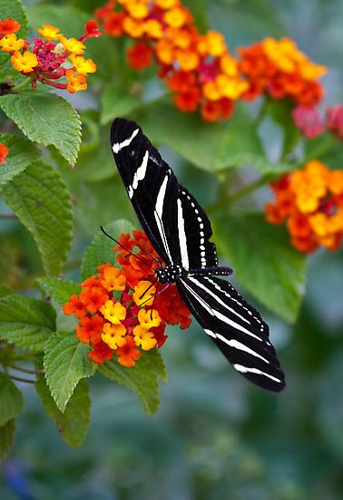 A Zebra Longwing on Lantana  by Saija  Lehtonen