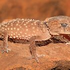 Nephrurus amyae_Kings Creek Station area_NT by tiliqua