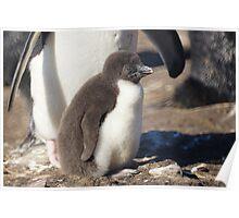 Rockhopper Penguin Chick, Falkland Islands Poster