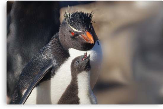 Rockhopper Penguin and Chick, Falkland Islands by Geoffrey Higges