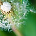 Dandelion close-up. by Kathy Behrendt