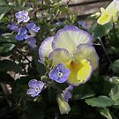 Pansy Delight   by GardenJoy