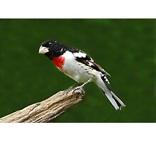 Rose-breasted Grosbeak Photographic Print