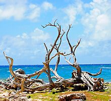 Driftwood in Bonaire, Dutch Caribbean by emilyduwan