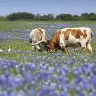 Bluebonnet Images - Longhorns in Bluebonnets 1 by RobGreebonPhoto