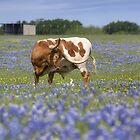 Bluebonnet Images - Longhorns in Bluebonnets 2 by RobGreebonPhoto