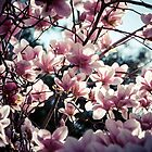 Magnolias in Bloom by Claudia Sims