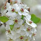 Pear Blossoms by Vonnie Murfin