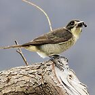 Cricket Anyone  Butcher Bird  Canberra Australia  by Kym Bradley