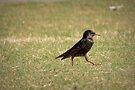 European Starling Strut by Kimberly Chadwick