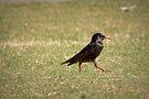 European Starling Strut by Kimberly Chadwick