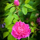 Pink Rose England by mlphoto