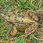 Common Frog by VoluntaryRanger