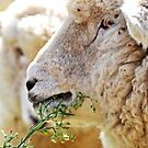 Head shot of sheep in New Zealand  by PhotoStock-Isra