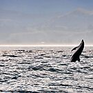 Whale off the shores of Kaikoura by PhotoStock-Isra