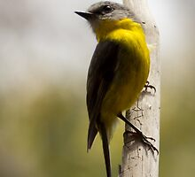 Eastern Yellow Robin by ajhaysom